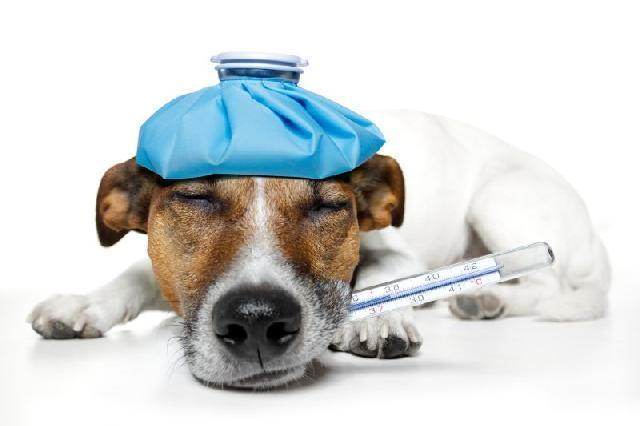 10 Cuidados com a Temperatura do seu Cão