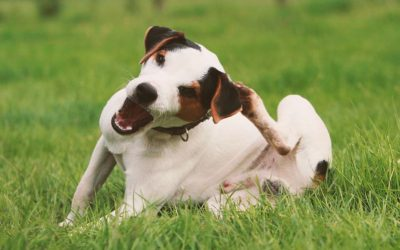 Sarna em Cães – Saiba como Identificar e Tratar este Problema