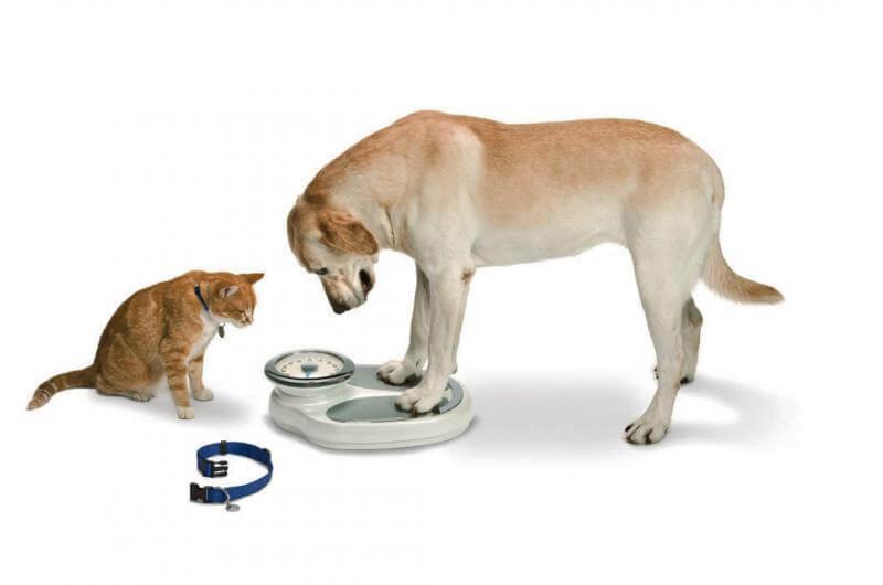 Obesidade: doença também pode trazer sérios riscos para animais de estimação